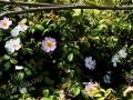 Fiori Rose Canine